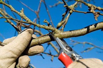 Professional Tree Shrub and Hedge Pruning by Landscape Zoolutions.